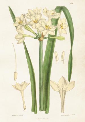 Vintage Juliste Valkoinen Kukka 54