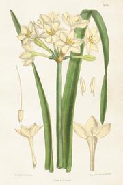 Vintage Juliste Valkoinen Kukka