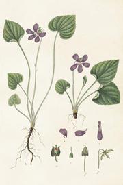 Vintage Juliste violetti kukka 77
